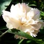 Dianthus 'Devon Cream' a lovely scented pink. (Dianthus plumarius (Border Pink))