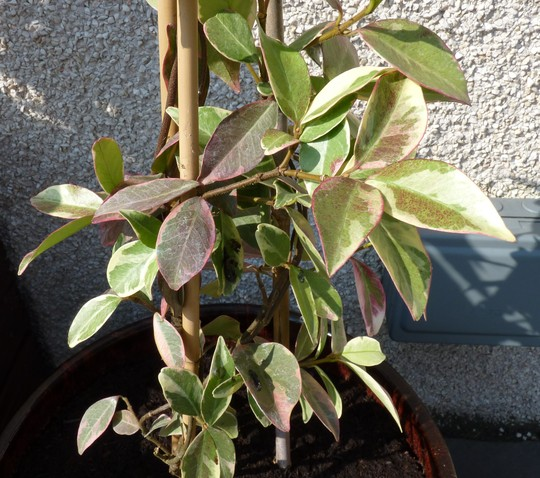Trachelospermum jasminoides Variegata (Trachelospermum jasminoides (Star jasmine))