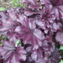 Heuchera_forever_purple