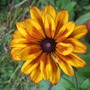 Rudbeckia 'Summerina yellow'