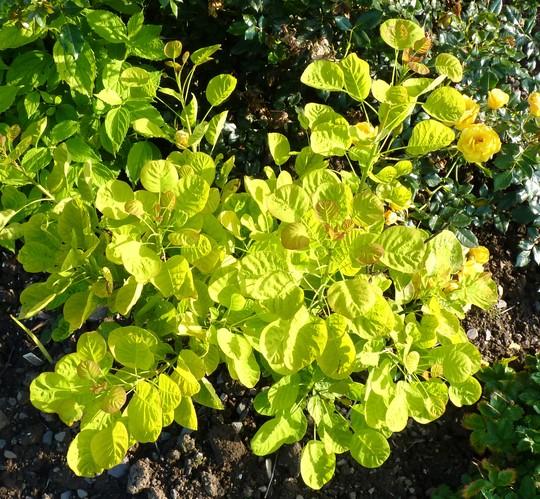Cotinus coggyria 'Golden Spirit' (Cotinus coggyria)
