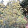 Bronze Fennel. Foeniculum vulgare 'Purpureum' (or Nigra) (Foeniculum vulgare 'Purpureum')