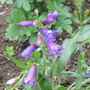 Penstemon Pinacolado (violet) (Penstemon barbatus (Beardlip penstemon))