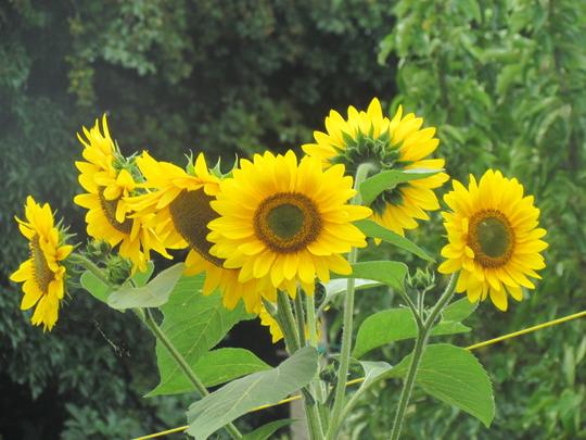 Sunflower.. (helianthus annuus)