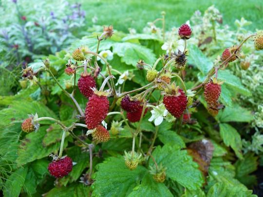 Fragaria vesca sempervirens - Alpine Strawberry (Fragaria vesca sempervirens)