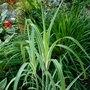 Miscanthus_sinensis_.cosmopolitan_..2