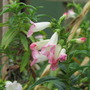 Penstemon  (pink/cream)