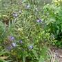 Ceratostigma_willmottianum_forest_blue_2015