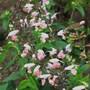 Salvia Coccinea 'Summer Jewel Pink' (Salvia coccinea (Sage))