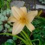 Pale Apricot Day Lily