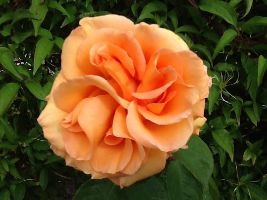Rose called warm wishes wonderful fragrance !