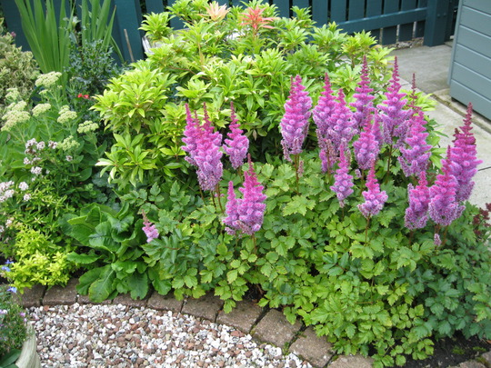 Astilbe Chinensis..