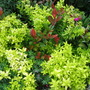 golden Oregano and dwarf Red Robin..