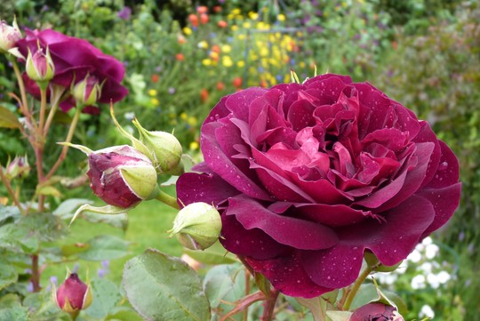 Rose 'Munstead Wood' Perfect form, colour and fragrance.