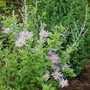 Perfect Partners. Perovskia 'Little Spire' and Aster frickartii 'Monch' (Perovskia atriplicifolia (Russian Sage))