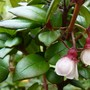 Tiny flowers on my new fruit shrub 'Chilean Guava' (myrtus ugni Molinae)