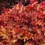 Heuchera_ginger_peach_