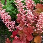 Heuchera_pink_pearls_