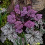 Heuchera_sugar_plum_2_