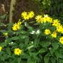 Helianthus Lemon Queen (Helianthus Lemon Queen)