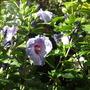 Hibiscus syriacus 'Oiseau Bleu' tree hollyhock (syn. Blue Bird  (Hibiscus syriacus 'Oiseau Bleu' tree hollyhock (syn. Blue Bird)