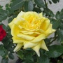 Gina Lollobrigida Hybrid Tea Rose