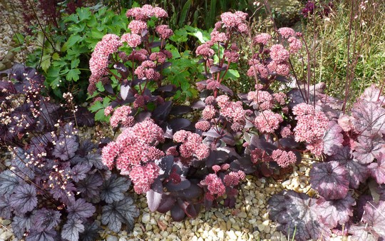 Sedum 'Purple Emperor' and Heuchera friends