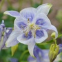 Columbine  (Aquilegia caerulea (Colorado Blue Columbine))