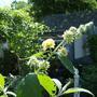 """Buddleia """" globosa """" - coming into bloom"""