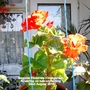 Begonia Fimbirata Orange red flowering on balcony railings 22 08 2015 003