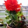 Begonia 'Fimbriata' on balcony railings 05-08-2015