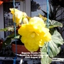 Begonia_double_yellow_flowering_on_balcony_railings_22_08_2015_004