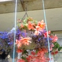 Begonia_illumination_salmon_pink_lobelias_in_basket_on_balcony_from_outside_01_08_2015_001