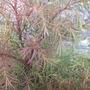 Cryptomeria_japonica_elegans_compacta_2_