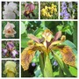 A selection of easier Iris, Spring 2015 (Iris germanica (Orris))