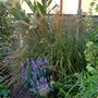Calamagrostis_x_acutiflora_karl_foerster_2015