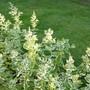 Pineapple Mint - A pretty plant for edging. (Mentha suaveolens (Apple mint))
