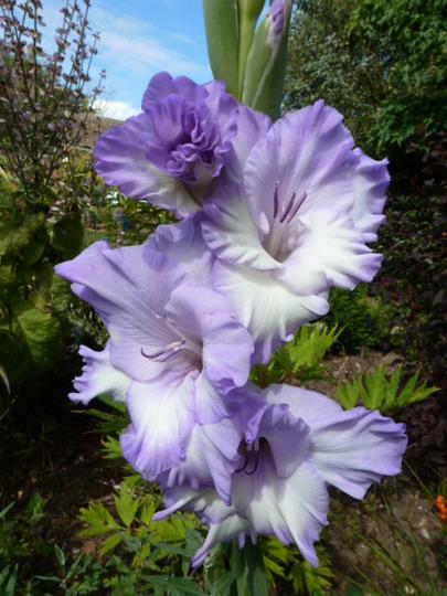 Gladioli .....    Blue Frost