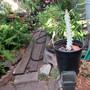 """I hesitate to post this... (Euphorbia lactea """"White Ghost"""")"""