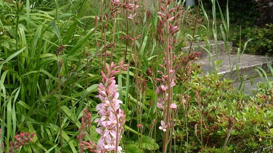 S1050616 (Francoa sonchifolia, rogersons form)