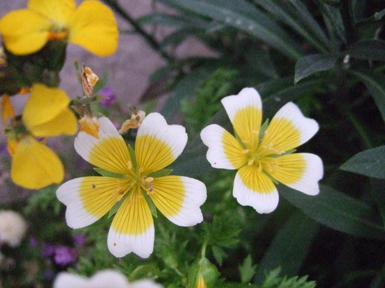 Poached egg plant. (Limnanthes douglasii (Poached egg plant))