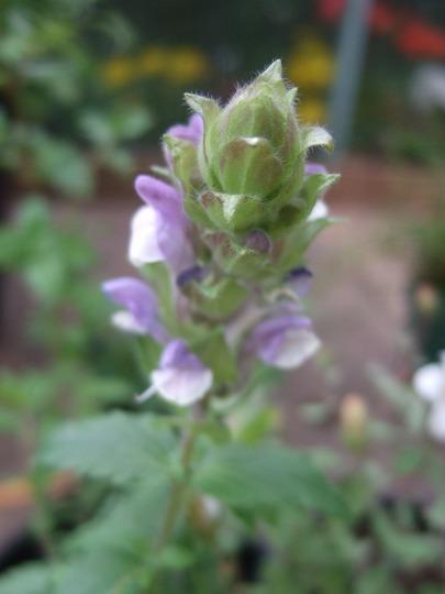 Mauve and white Prunella (Prunella grandiflora (Bigflower Self-Heal))