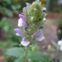 Mauve and white Prunella (Prunella grandiflora (Bigflower Self-Heal))