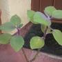 Gynura aurantiaca (upright form)  - Velvet Plant (Gynura aurantiaca (upright forms)  - Velvet Plant)