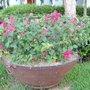 Pink bouganivillea in urn (El Salvador)