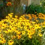 Cultivated Black Susan for Fall Vermont gardens