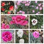 My Dianthus collection (Dianthus)