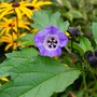 Nicandra (Shoo-Fly) (Nicandra physaloides (Apple of Peru))