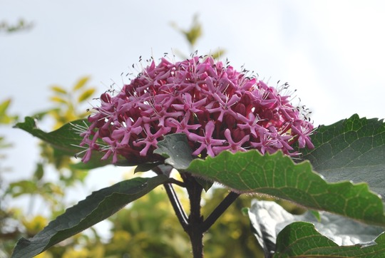 Clerodendrum flowers...... (Clerodendrum trichotomum (Clerodendrum))