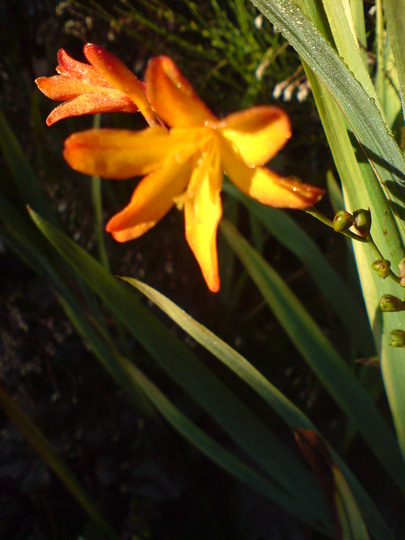 DSC00066.jpg (Crocosmia x crocosmiiflora (Montbretia))